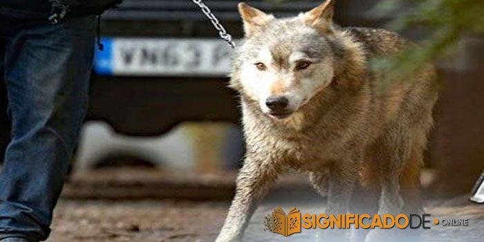 soñar con lobo que ataca en televisión